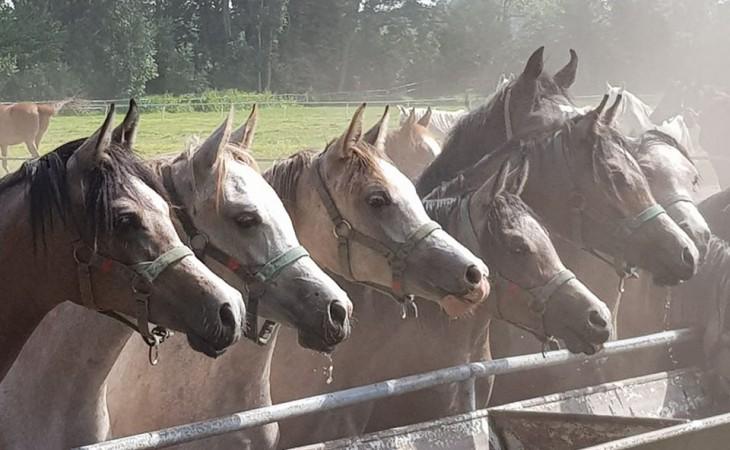 Głowy koni